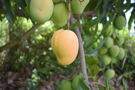 mango-5550478__340